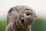 baby-scops-owl-by-brianscott
